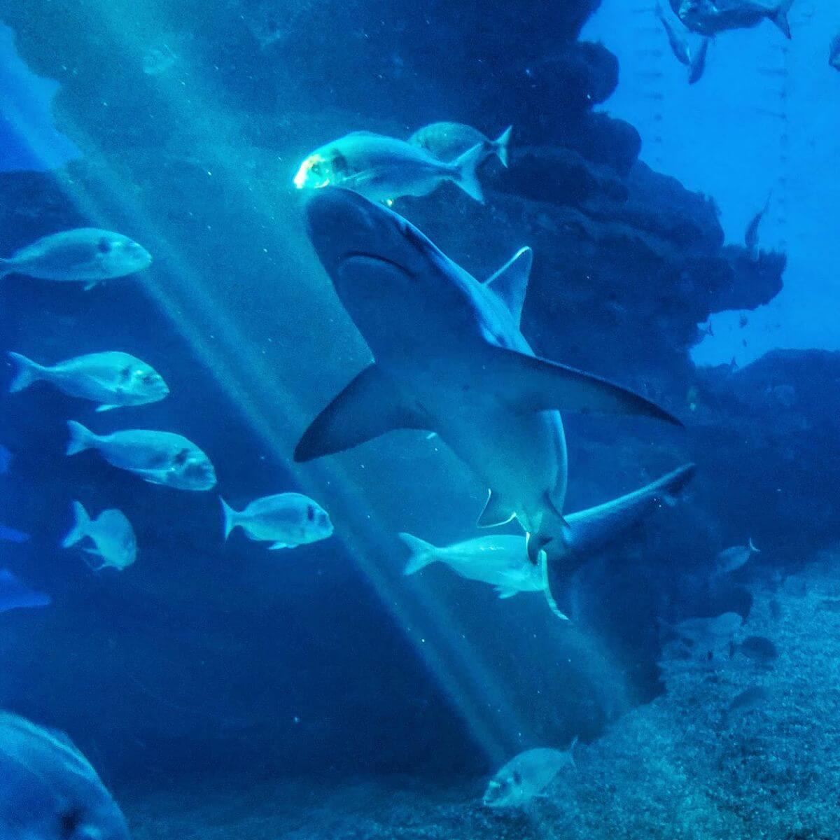 Tiburón de Palma Aquarium