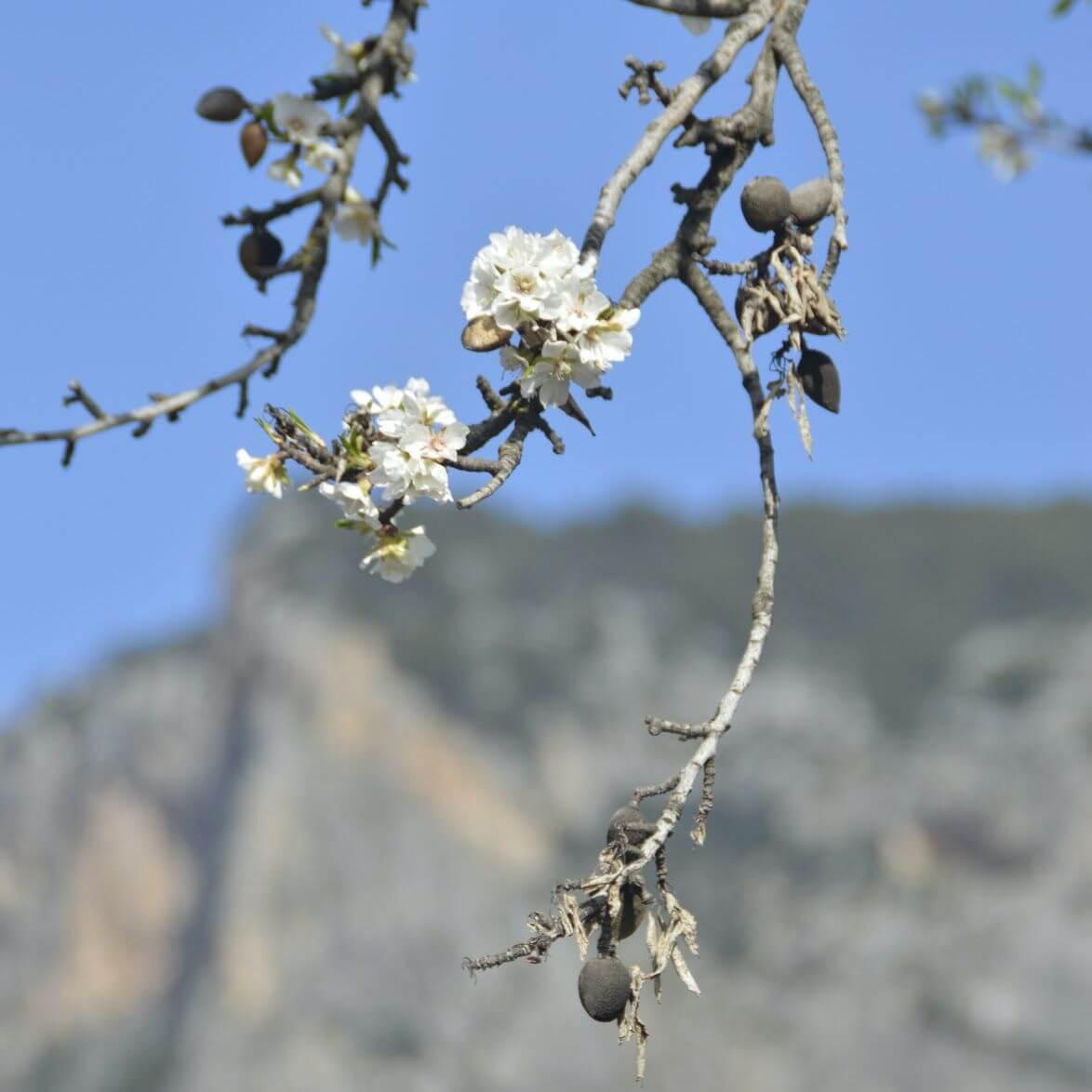 Almendra de Mallorca