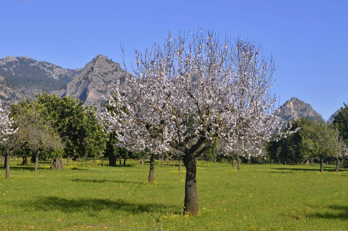 Ruta por los almendros en flor de Mallorca