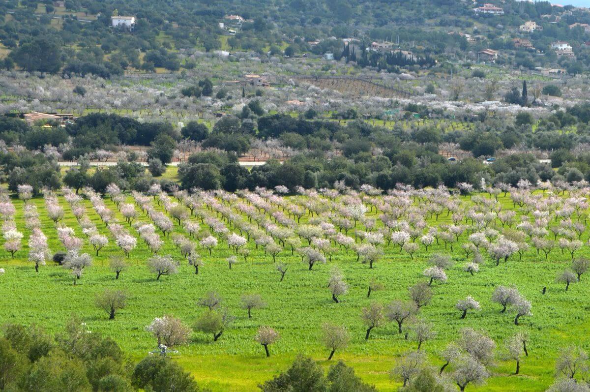 Excursión por los almendros en flor de Mallorca