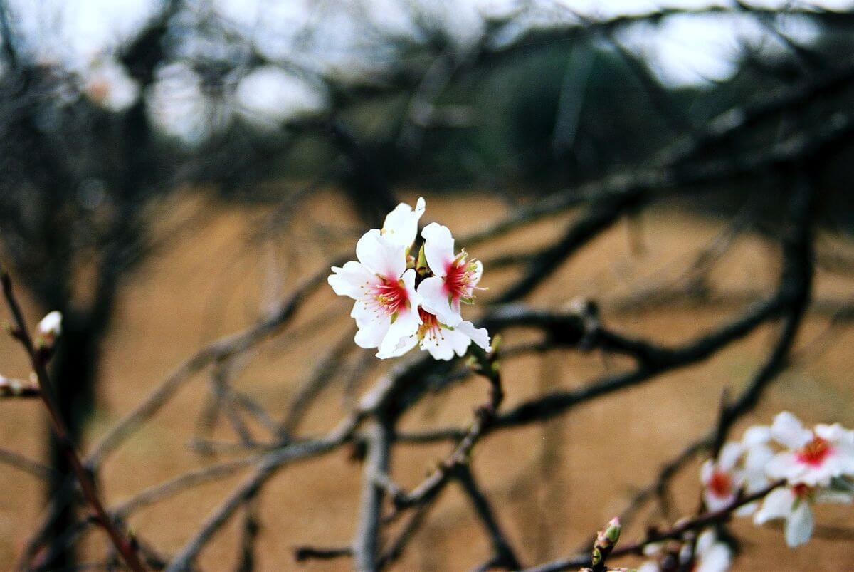 Flor de almendro de Mallorca