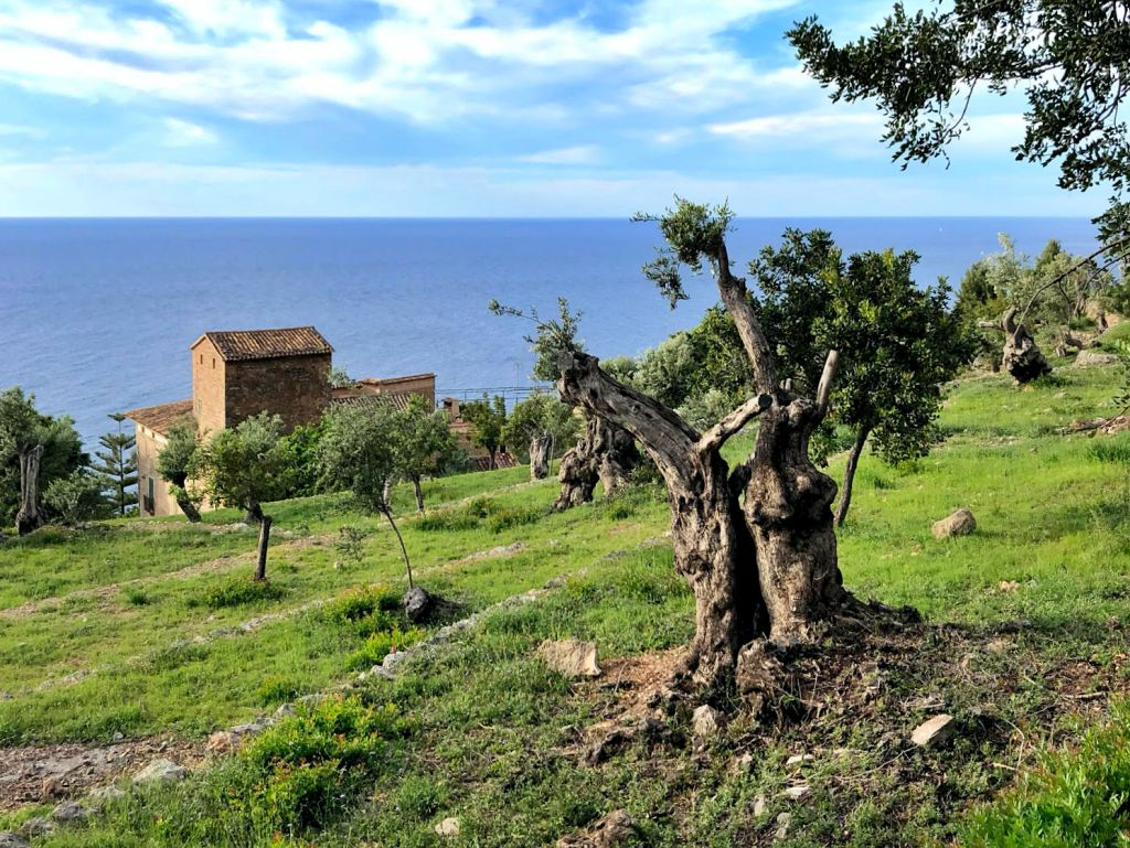 Olivos en Llucalcari