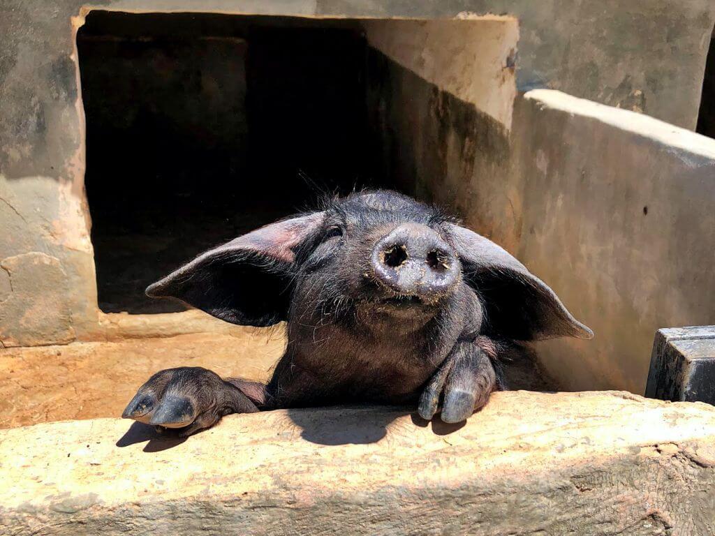 Porc negre mallorquí
