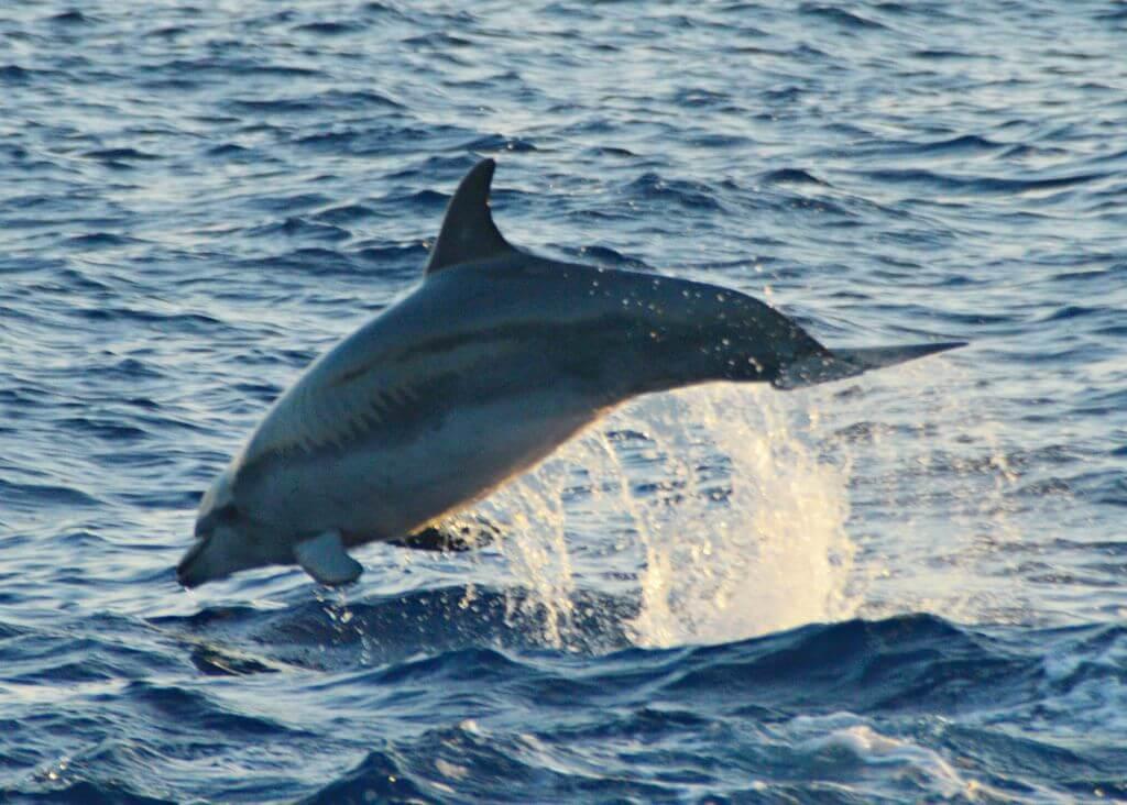 Delfin en aguas de Mallorca